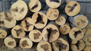 agarwoodinfecte